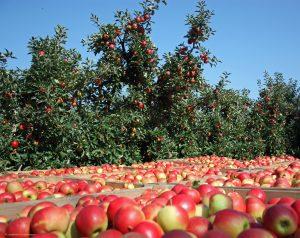 Apfelernte Lindenhof